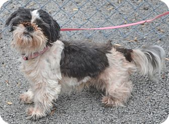 shih tzu rescue va edna adopted dog morgantown wv shih tzu mix 4233