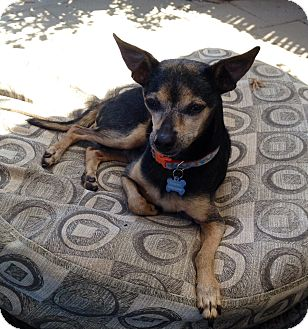 Chihuahua Mix Dog for adoption in Fountain Valley, California - Chico