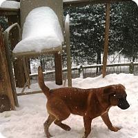 Labrador Retriever/Terrier (Unknown Type, Medium) Mix Dog for adoption in Columbia, Kentucky - Godzilla