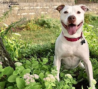 Pit Bull Terrier/American Bulldog Mix Dog for adoption in Rockaway, New Jersey - Oliver