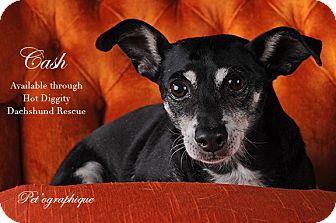 Miniature Pinscher/Dachshund Mix Dog for adoption in Las Vegas, Nevada - CASH
