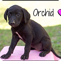 Adopt A Pet :: Orchid (Pom-dc) - Hagerstown, MD