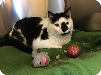 Domestic Shorthair Cat for adoption in Chicago, Illinois - Frodo
