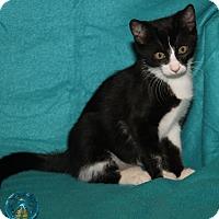 Domestic Shorthair Kitten for adoption in Marietta, Ohio - Alfie (Neutered)