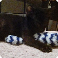 Adopt A Pet :: Munchkin - Northfield, OH