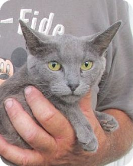 Russian Blue Cat for adoption in Germantown, Maryland - Shady