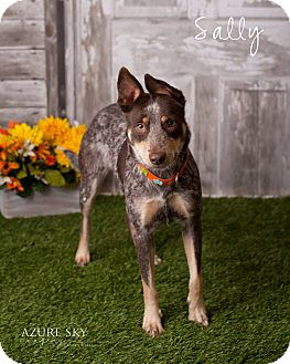 Australian Cattle Dog Dog for adoption in Phoenix, Arizona - Sally