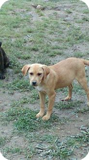 Labrador Retriever/Chow Chow Mix Puppy for adoption in Russellville, Kentucky - Lucy