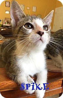 Domestic Shorthair Kitten for adoption in Mooresville, North Carolina - SPIKE
