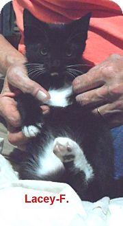 American Shorthair Kitten for adoption in Pensacola, Florida - Lacey