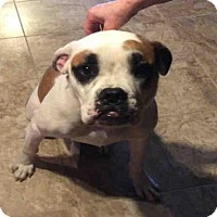 Adopt A Pet :: WINSTON - San Antonio, TX