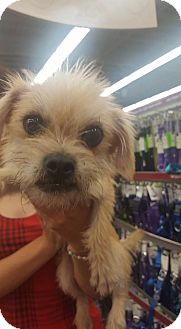 Terrier (Unknown Type, Small) Mix Dog for adoption in Fresno, California - Spencer