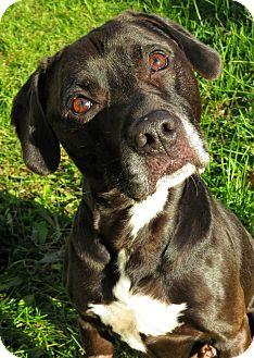 Pit Bull Terrier Mix Dog for adoption in West Babylon, New York - Riley