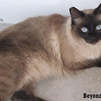 Siamese Cat for adoption in Fullerton, California - Beyond Silk