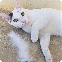 Domestic Shorthair Cat for adoption in Umatilla, Florida - Prince *SPONSORED*