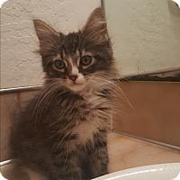 Adopt A Pet :: Mr Pickles - Tumwater, WA