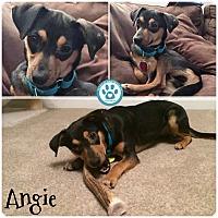 Adopt A Pet :: Angie - Kimberton, PA