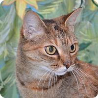 Adopt A Pet :: Cat - Englewood, FL