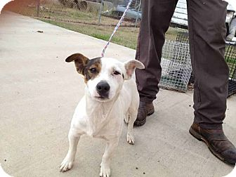 Jack Russell Terrier Mix Dog for adoption in Houston, Texas - Wharton in Houston