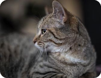 Domestic Shorthair Cat for adoption in Wilmore, Kentucky - Lullaby