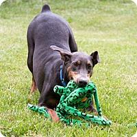 Adopt A Pet :: DELANEY - Greensboro, NC