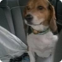 Adopt A Pet :: Bailey - Burnham, PA