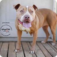 American Pit Bull Terrier/Labrador Retriever Mix Dog for adoption in Toluca Lake, California - Jennibelle