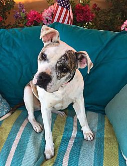 American Bulldog Mix Dog for adoption in Toluca Lake, California - Sheena