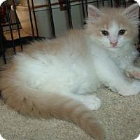 Adopt A Pet :: OCTAVIA - Acme, PA