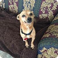 Adopt A Pet :: Layla - San Antonio, TX