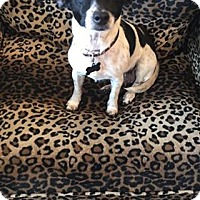 Rat Terrier/Chihuahua Mix Dog for adoption in Valencia, California - Bola