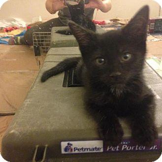 Domestic Mediumhair Kitten for adoption in Corona, California - Halloween: Spooky
