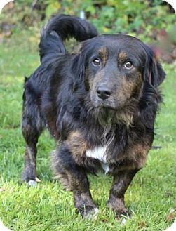 Spaniel (Unknown Type)/Basset Hound Mix Dog for adoption in Chester Springs, Pennsylvania - Lowrider