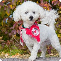 Bichon Frise Mix Dog for adoption in Lowell, Massachusetts - Casper