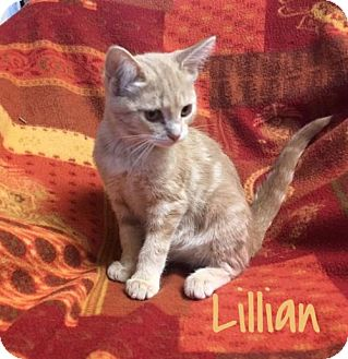 Siamese Kitten for adoption in Harrisville, West Virginia - Lillian