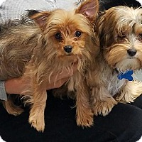 Yorkie, Yorkshire Terrier/Havanese Mix Puppy for adoption in Alden, New York - Lulu & Gigi