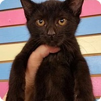 Domestic Shorthair Cat for adoption in Mission, Kansas - Napawsha Beddingfield