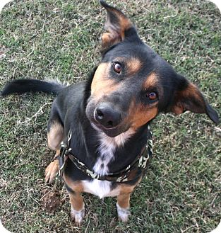 German Shepherd Dog Mix Dog for adoption in Pilot Point, Texas - Charlie