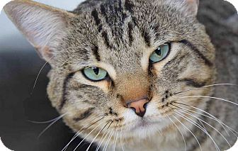 Domestic Shorthair Cat for adoption in Sierra Vista, Arizona - Binkey