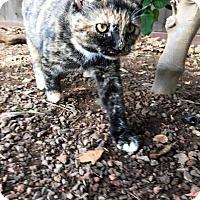Adopt A Pet :: Pico - Dublin, CA