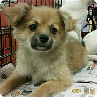Adopt A Pet :: Puppies-Pom mixes - Pembroke, GA