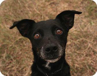 Miniature Pinscher Mix Dog for adoption in New Braunfels, Texas - Rosey(Mali)