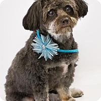 Toy Poodle Mix Dog for adoption in Phelan, California - Missy