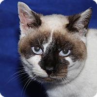 Adopt A Pet :: Snow Angel (FIV Positive) - Marietta, OH