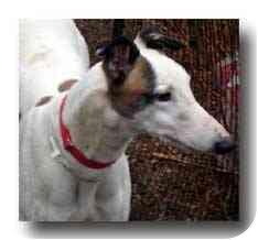 Greyhound Dog for adoption in Roanoke, Virginia - Schemer