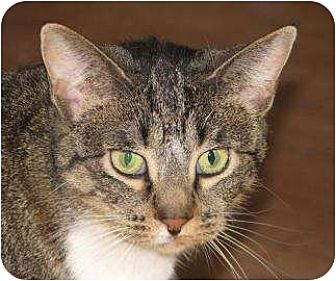Domestic Shorthair Cat for adoption in Woodstock, Illinois - Alice