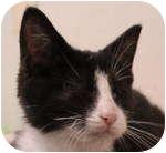Domestic Shorthair Kitten for adoption in Kensington, Maryland - Hunter