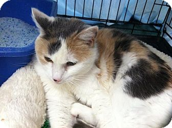 Calico Cat for adoption in Bentonville, Arkansas - Callista