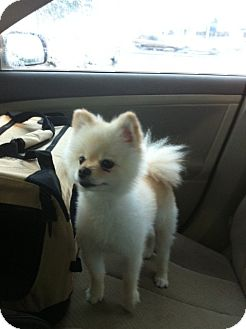 Pomeranian Dog for adoption in Baton Rouge, Louisiana - lexi