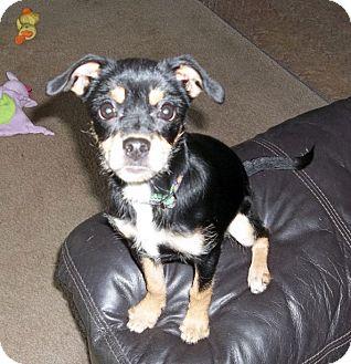 ... Puppy | Lancaster, OH | Boston Terrier/Yorkie, Yorkshire Terrier Mix